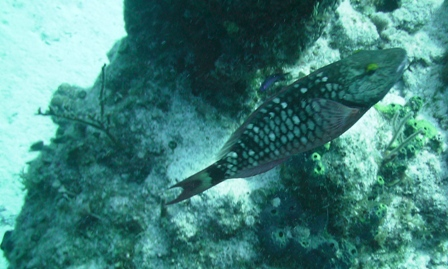female stoplight parrotfish